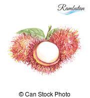 Rambutan clipart english Of Clip of Rambutan Art