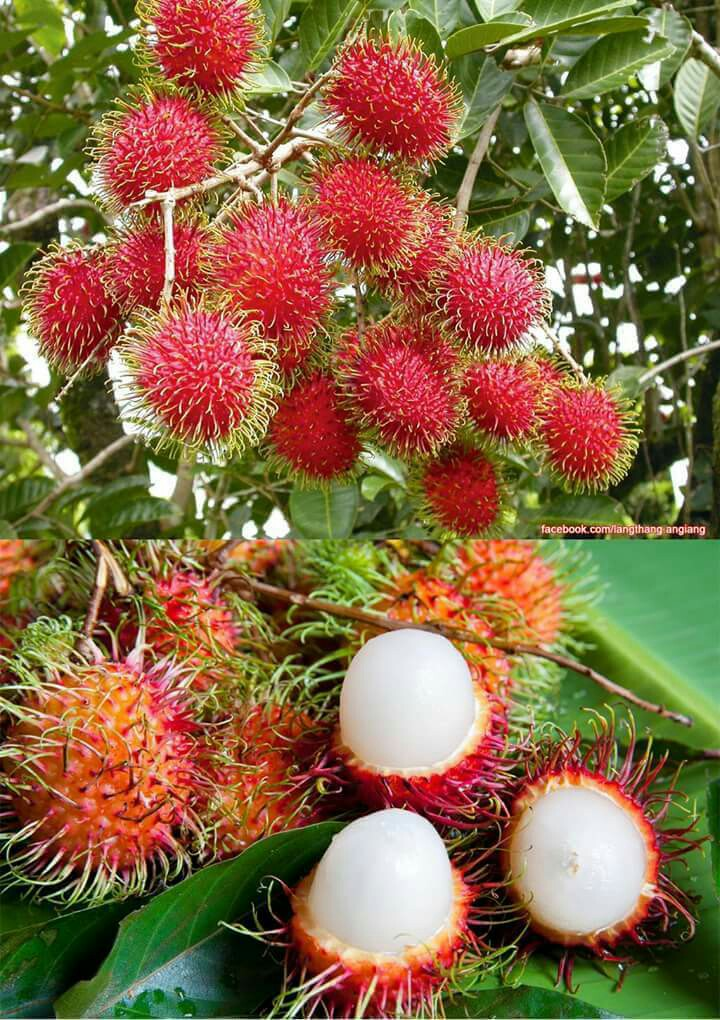 Rambutan clipart pohon & Pinterest Rambutan Veggies Fruits
