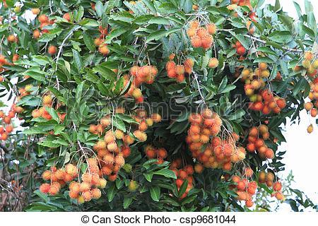 Plant clipart rambutan Photo Stock of Stock tree