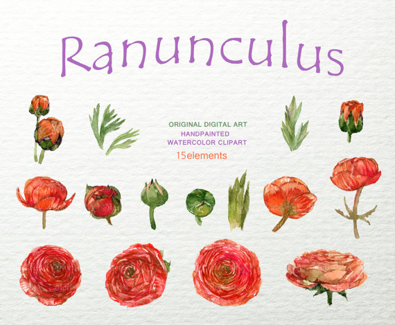 Ranuncula clipart hand drawn flower Ranunculus is Flowers file Hand
