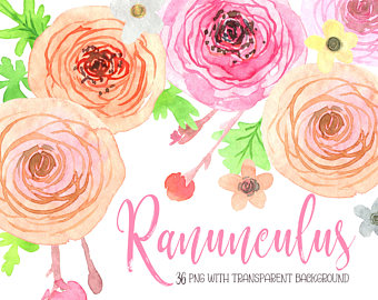 Ranuncula clipart peach flower Cream hand / floral Watercolor