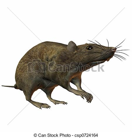 Rat clipart european #13