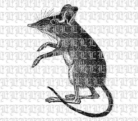 Rat clipart european #10