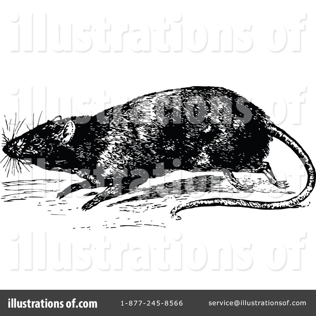 Rat clipart european #15