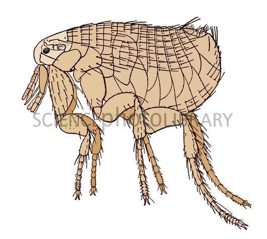 Rat clipart flea #13