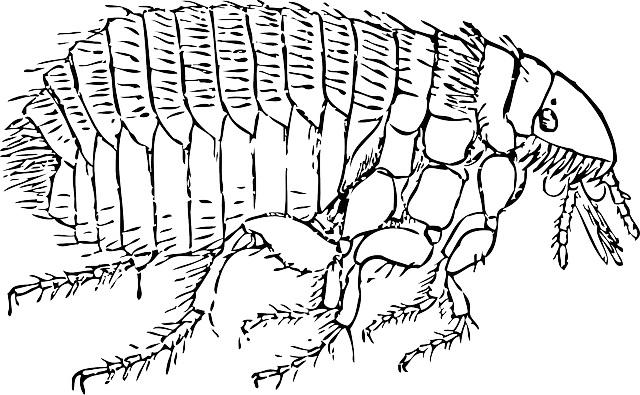 Rat clipart flea #12