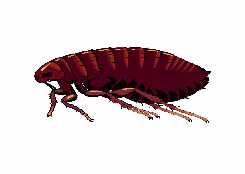 Rat clipart flea #5