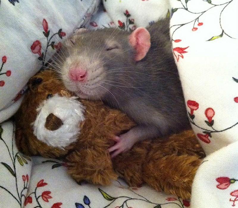 Rat clipart funny #15