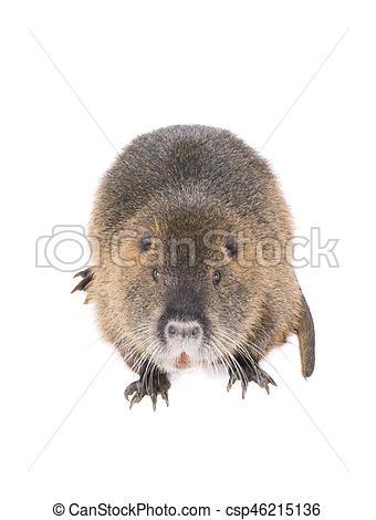 Rat clipart nutria #10