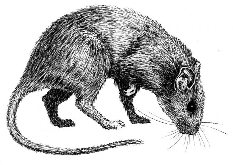 Drawn rat black death Development creation World project plague
