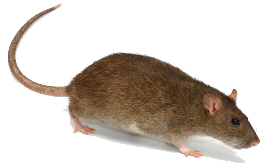 Rat clipart transparent #15