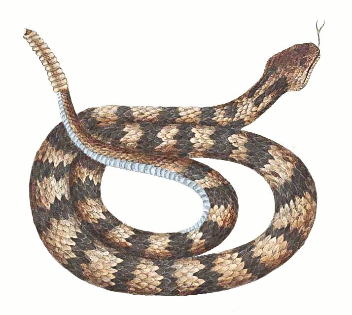 Rattlesnake clipart Free Clipart Clipart Rattlesnake Gallery