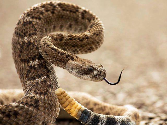 Rattlesnake clipart mean #10
