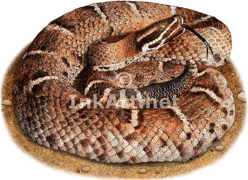 Rattlesnake clipart ridge nosed #14