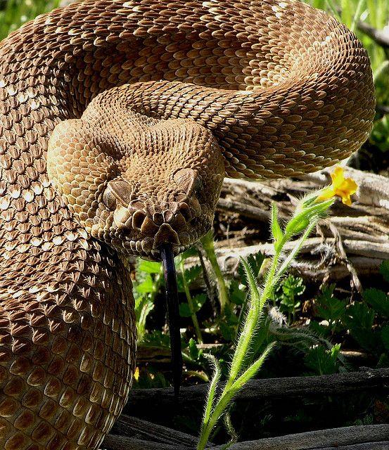 Rattlesnake clipart snake face #7
