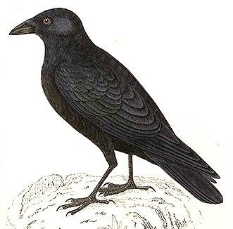 Raven clipart primitive #11