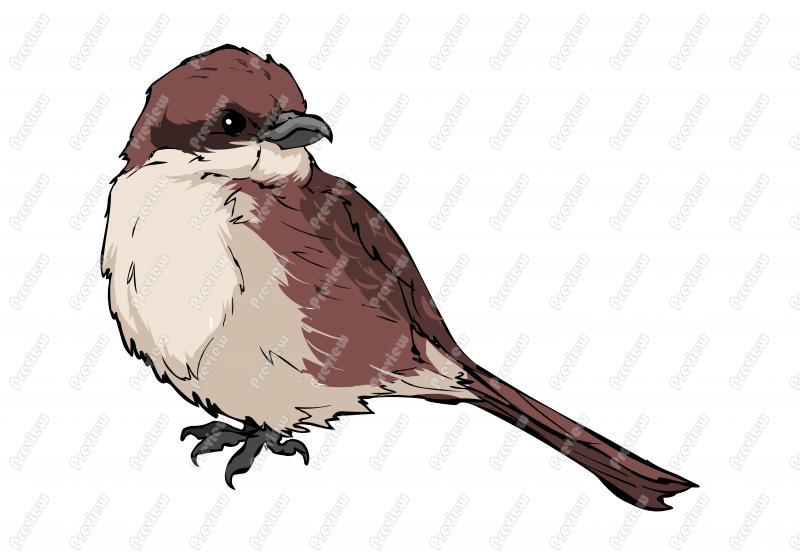 Realistic clipart Bird Bird Bird  Shrike