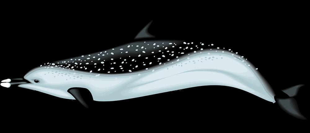 Realistic clipart Clip Dolphin Realistic  Free