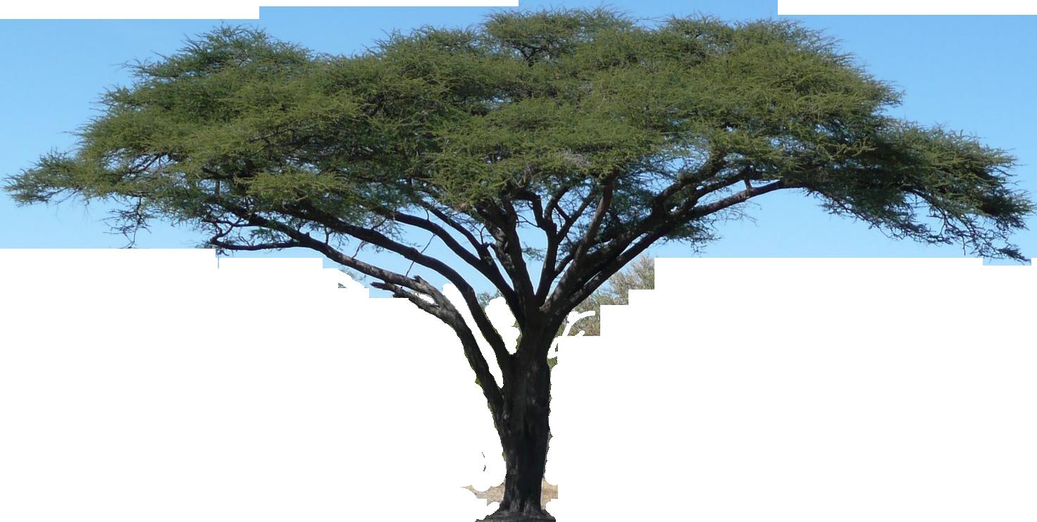 Realistic clipart acacia tree #6