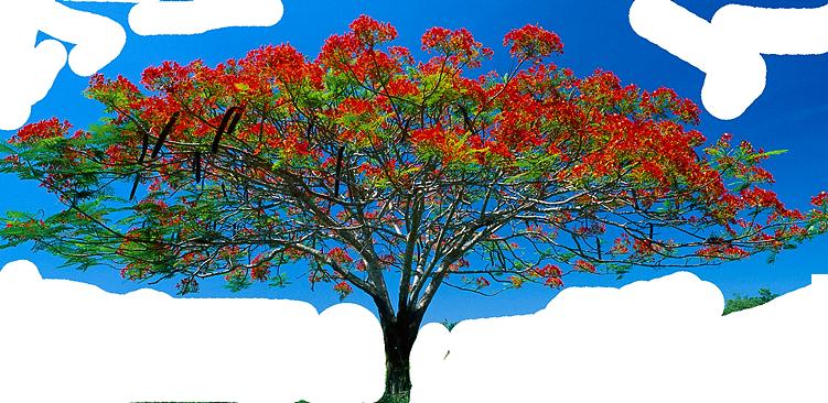 Realistic clipart acacia tree #8