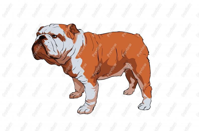 Realistic clipart bulldog #5