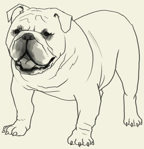 Realistic clipart bulldog #9