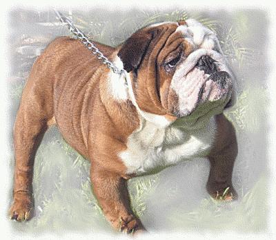 Realistic clipart bulldog #11