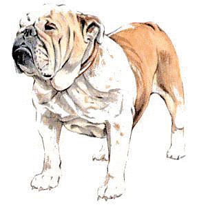 Realistic clipart bulldog #4