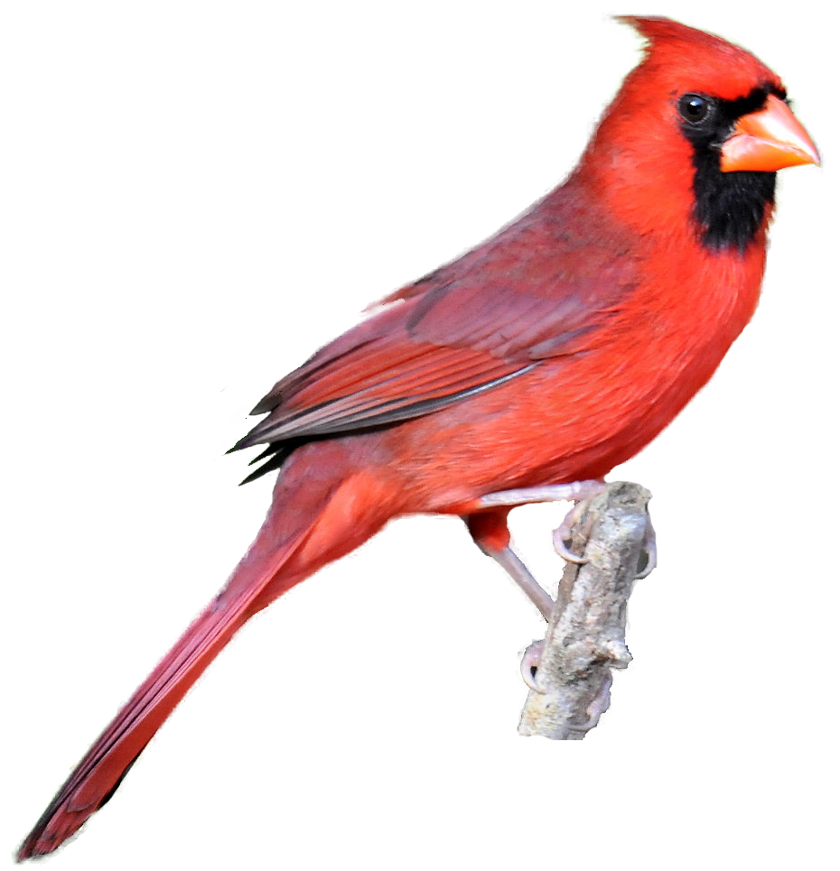 Brds clipart cardinal Realistic from cardinal from Clipart
