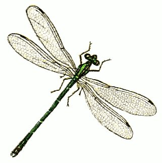 Realistic clipart dragonfly #8