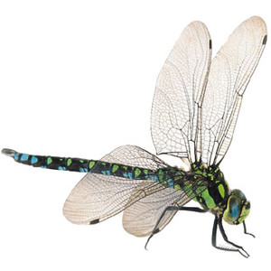 Realistic clipart dragonfly #13