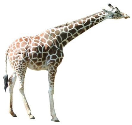 Realistic clipart giraffe #8
