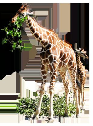 Realistic clipart giraffe #7