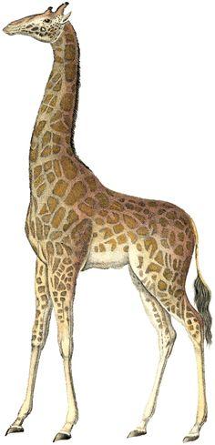 Realistic clipart giraffe #11