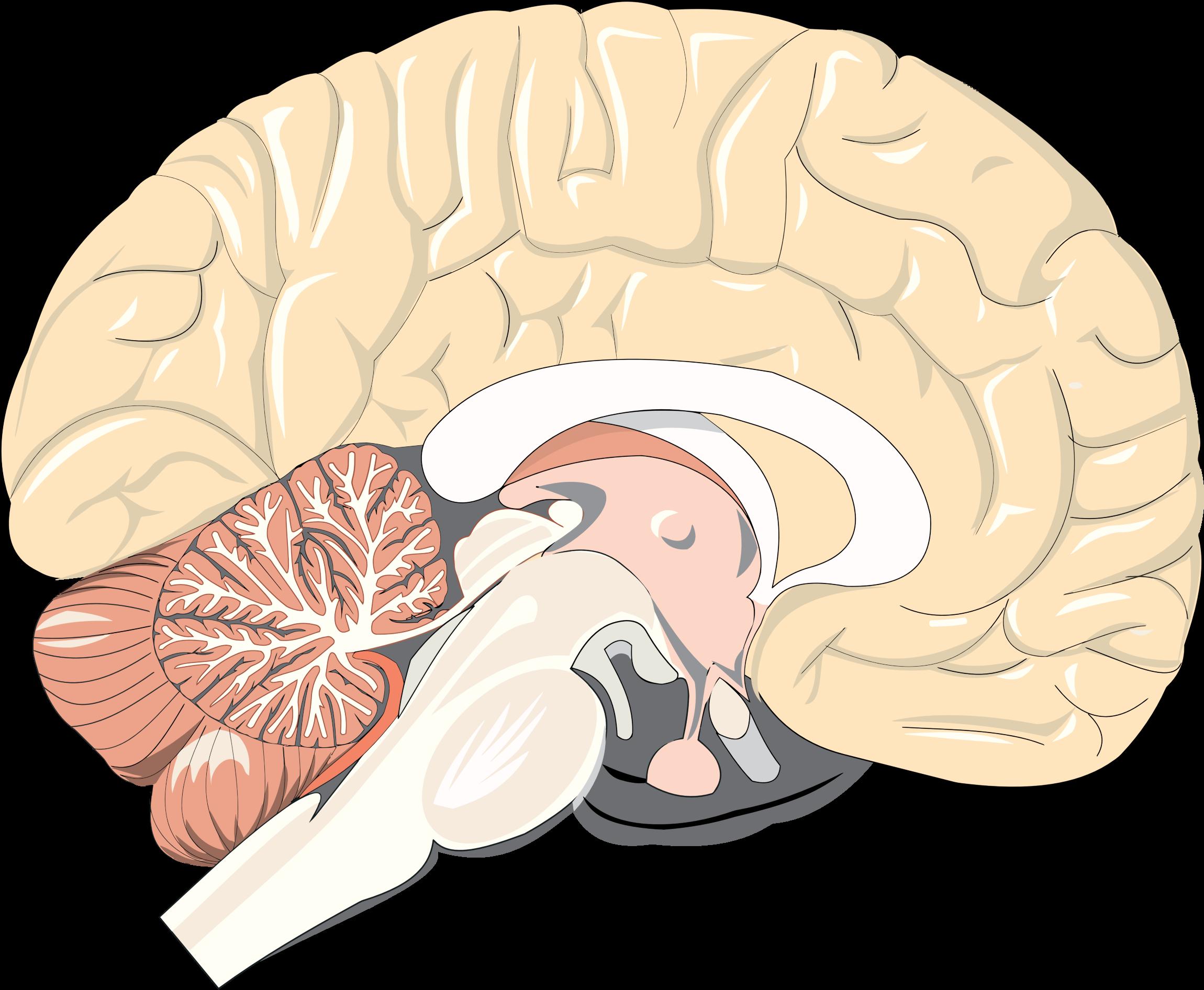 Realistic clipart human brain #14
