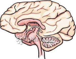Realistic clipart human brain #11