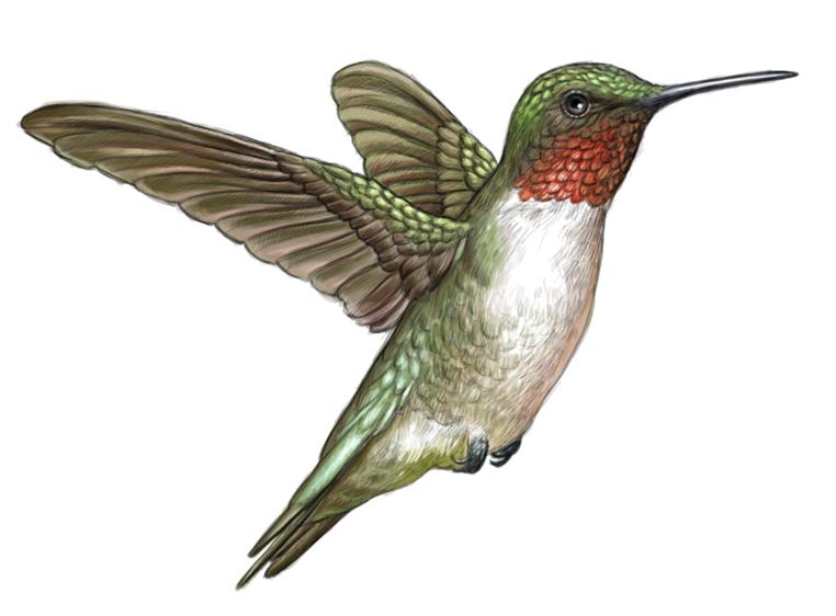 Drawn hummingbird ruby throated hummingbird Illustration throated Hummingbird Ruby hummingbird