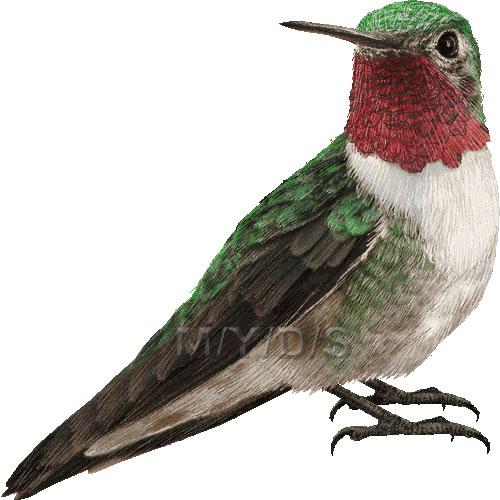 Realistic clipart ruby throated hummingbird #11