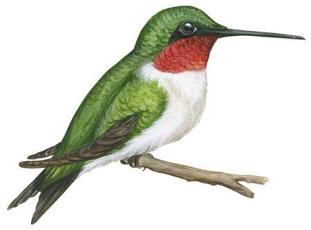Drawn hummingbird ruby throated hummingbird Illustration (Archilochus Stock Stock colubris)