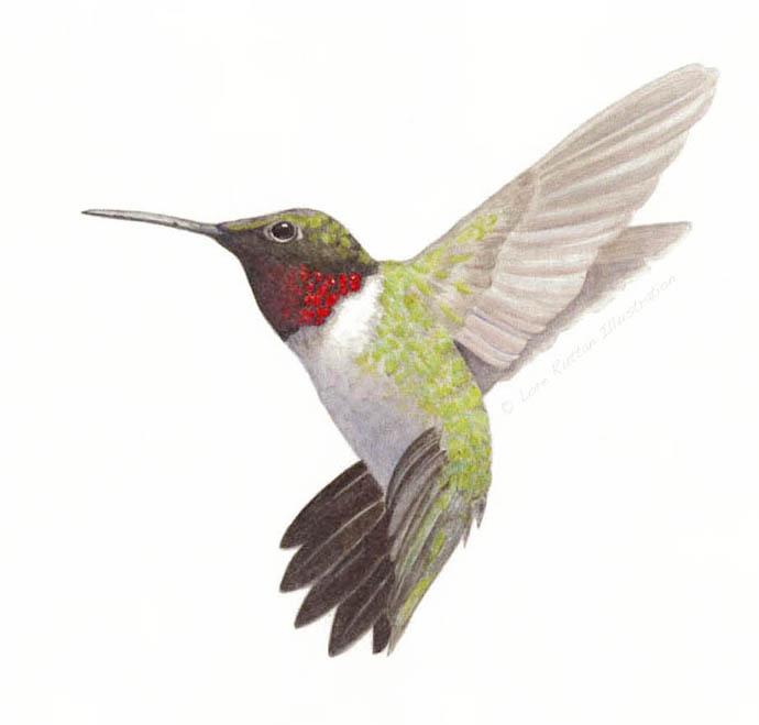 Drawn hummingbird ruby throated hummingbird Illustration Ruby Hummingbird Ruby Throated