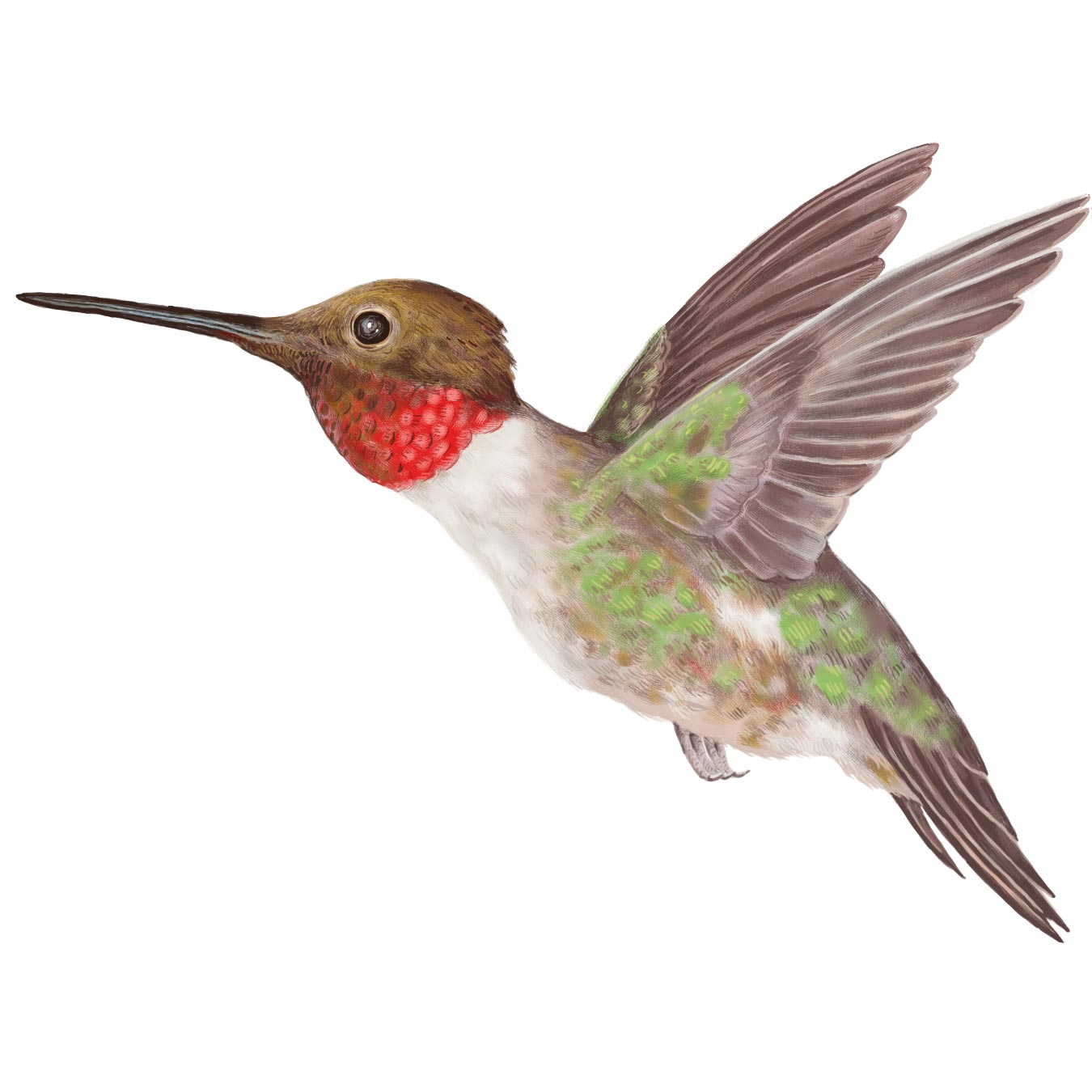 Realistic clipart ruby throated hummingbird #6