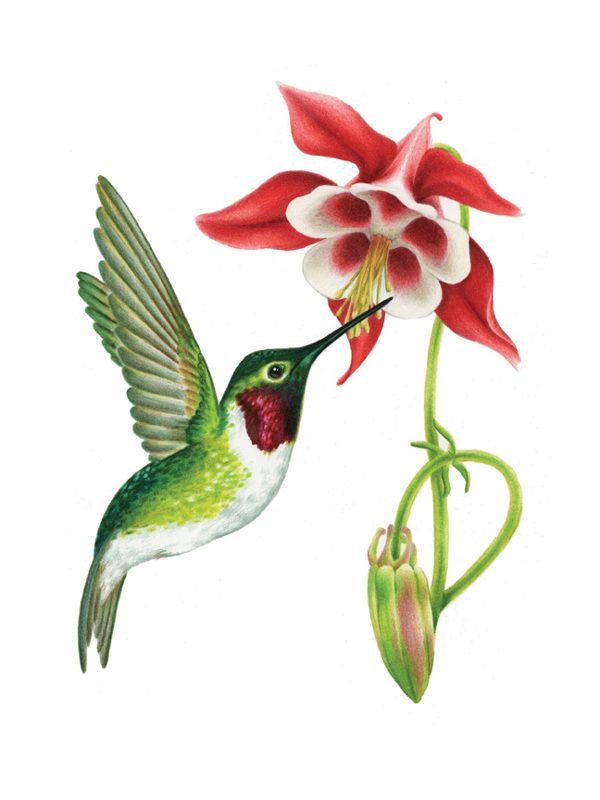 Realistic clipart ruby throated hummingbird #4