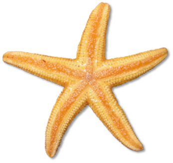 Realistic clipart starfish Clipart 2 Starfish free images