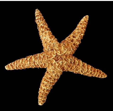 Realistic clipart starfish Png png Starfish Starfish photo#22