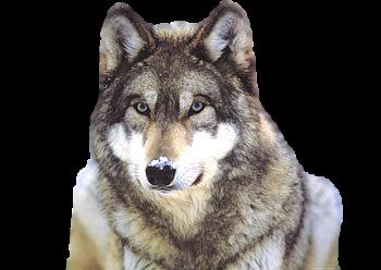 Wolf clipart transparent background Download  PNG Transparent Clip