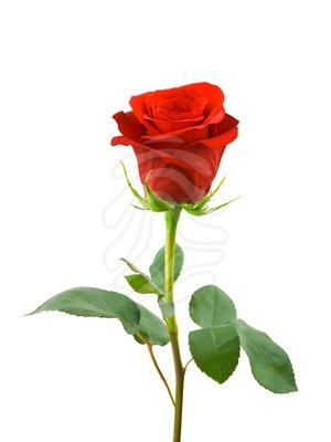 Red Rose clipart rose flower #2