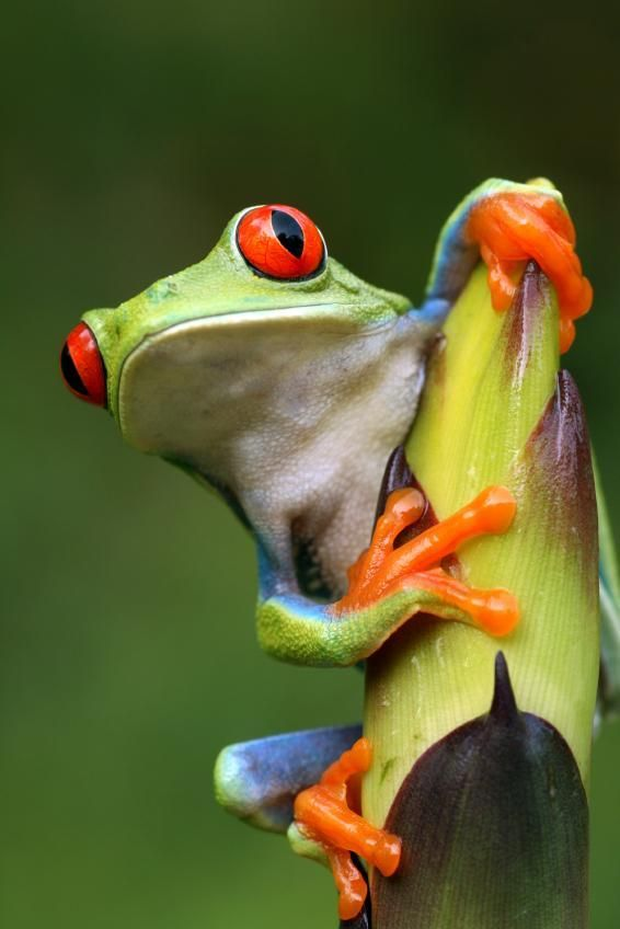 Red Eyed Tree Frog clipart amazon rainforest #6