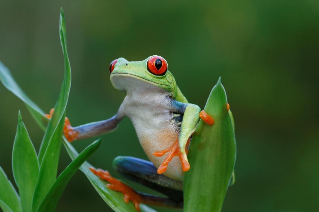 Red Eyed Tree Frog clipart australian 03 14 2015 Eyed #662591
