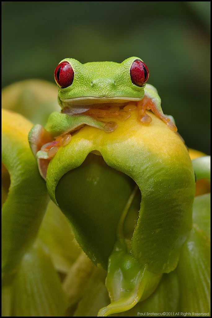 Red Eyed Tree Frog clipart australian Are best Red Frogs 665