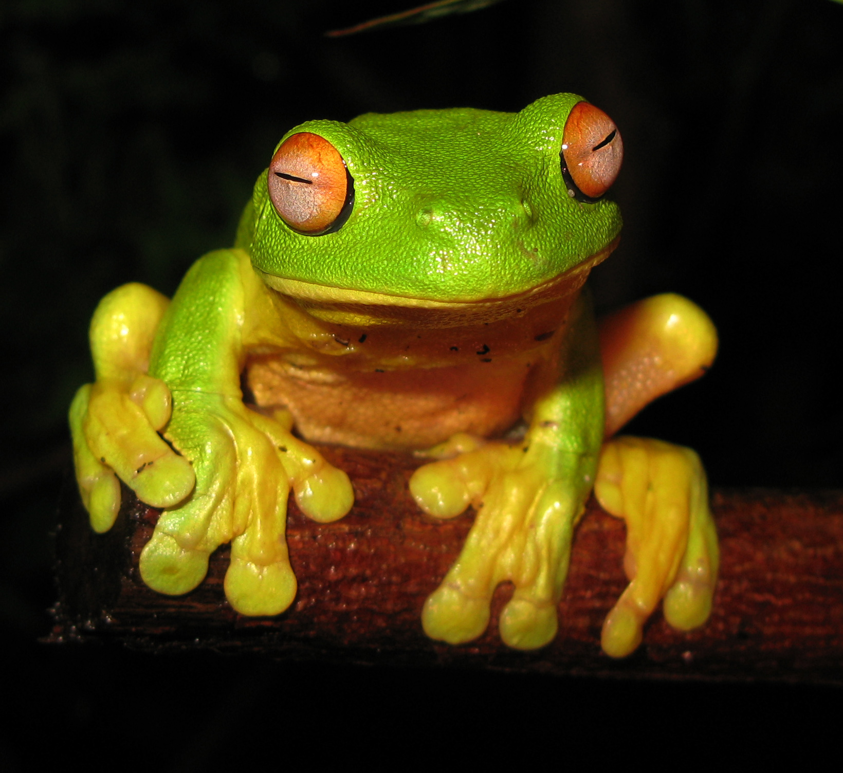 Red Eyed Tree Frog clipart australian On  Pinterest images best